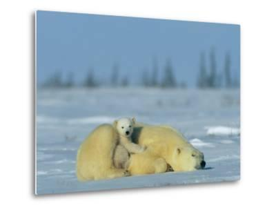 A Sleepy Polar Bear Mother (Ursus Maritimus) Serves as a Protective Bed for Her Cub-Norbert Rosing-Metal Print