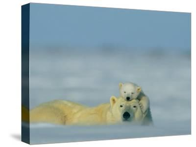 A Polar Bear Cub (Ursus Maritimus) Finds a Peaceful Sleeping Spot on its Mothers Head-Norbert Rosing-Stretched Canvas Print