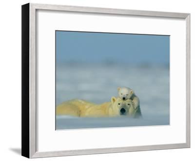 A Polar Bear Cub (Ursus Maritimus) Finds a Peaceful Sleeping Spot on its Mothers Head-Norbert Rosing-Framed Photographic Print