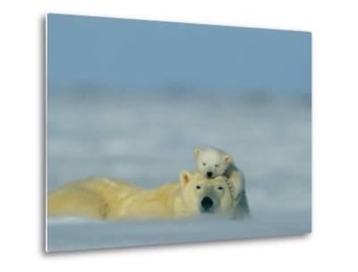 A Polar Bear Cub (Ursus Maritimus) Finds a Peaceful Sleeping Spot on its Mothers Head-Norbert Rosing-Metal Print