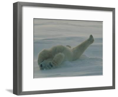 Polar Bear (Ursus Maritimus) Stretching During Nap in Snow-Norbert Rosing-Framed Photographic Print