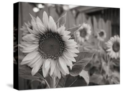 A Black and White Photograph of a Sunflower-Stacy Gold-Stretched Canvas Print