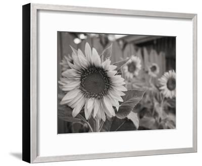A Black and White Photograph of a Sunflower-Stacy Gold-Framed Photographic Print