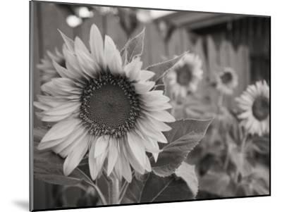 A Black and White Photograph of a Sunflower-Stacy Gold-Mounted Photographic Print