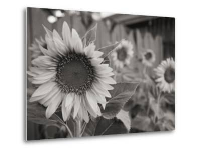 A Black and White Photograph of a Sunflower-Stacy Gold-Metal Print