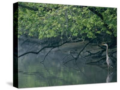 Great Blue Heron-Robert Madden-Stretched Canvas Print