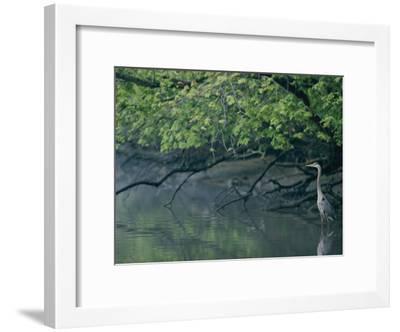 Great Blue Heron-Robert Madden-Framed Photographic Print