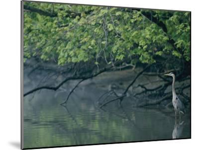 Great Blue Heron-Robert Madden-Mounted Photographic Print