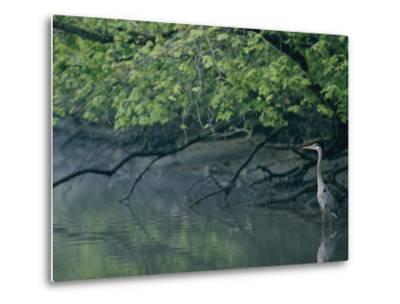 Great Blue Heron-Robert Madden-Metal Print