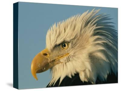 Profile View of a Bald Eagle-Norbert Rosing-Stretched Canvas Print
