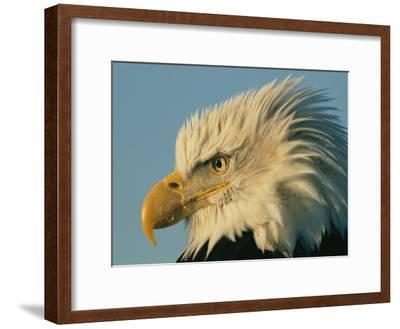 Profile View of a Bald Eagle-Norbert Rosing-Framed Photographic Print