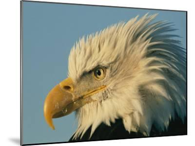 Profile View of a Bald Eagle-Norbert Rosing-Mounted Photographic Print