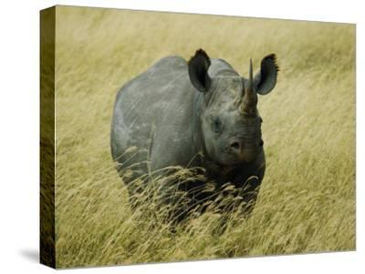 A Straight on View of a Rhinoceros in a Field of Tall Grass-Todd Gipstein-Stretched Canvas Print