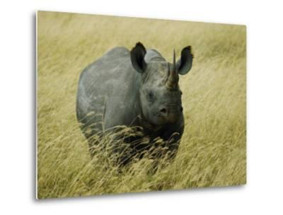 A Straight on View of a Rhinoceros in a Field of Tall Grass-Todd Gipstein-Metal Print