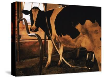 Dairy Cow Being Milked-Dick Durrance-Stretched Canvas Print