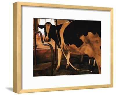 Dairy Cow Being Milked-Dick Durrance-Framed Photographic Print