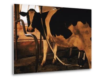 Dairy Cow Being Milked-Dick Durrance-Metal Print