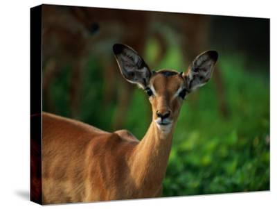 A Young Impala Stares at the Camera-Beverly Joubert-Stretched Canvas Print