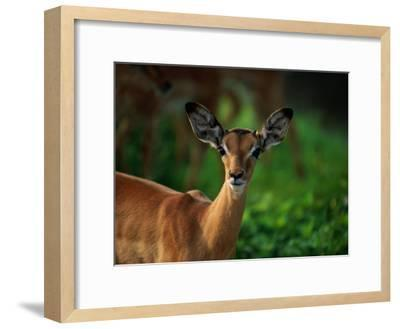 A Young Impala Stares at the Camera-Beverly Joubert-Framed Photographic Print