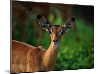A Young Impala Stares at the Camera-Beverly Joubert-Mounted Photographic Print