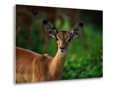 A Young Impala Stares at the Camera-Beverly Joubert-Metal Print