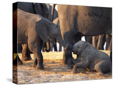 Juvenile African Elephants Touch Trunks-Beverly Joubert-Stretched Canvas Print