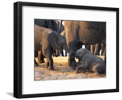 Juvenile African Elephants Touch Trunks-Beverly Joubert-Framed Photographic Print