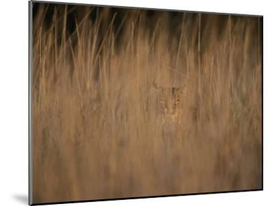 A Bobcat Hides in the Overgrowth-Roy Toft-Mounted Photographic Print