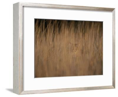 A Bobcat Hides in the Overgrowth-Roy Toft-Framed Photographic Print