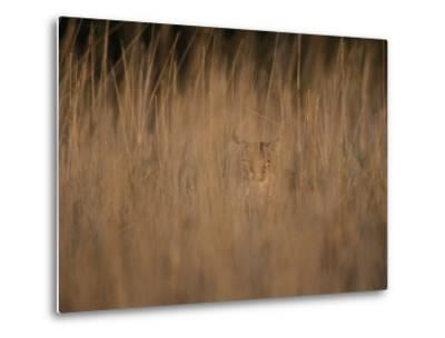 A Bobcat Hides in the Overgrowth-Roy Toft-Metal Print
