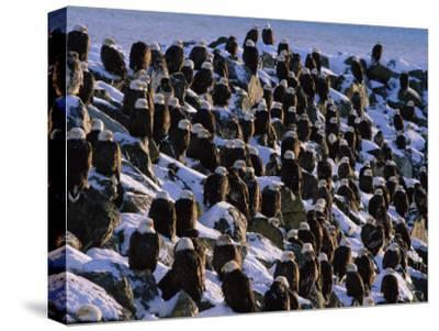 A Group of Bald Eagles Bask on a Breakwater in Homer-Norbert Rosing-Stretched Canvas Print
