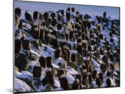 A Group of Bald Eagles Bask on a Breakwater in Homer-Norbert Rosing-Mounted Photographic Print