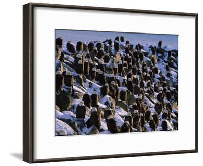 A Group of Bald Eagles Bask on a Breakwater in Homer-Norbert Rosing-Framed Photographic Print