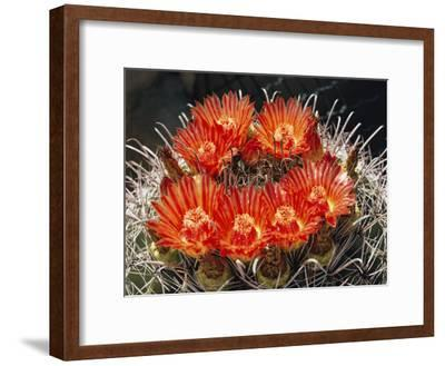 Barrel Cactus in Bloom-Walter Meayers Edwards-Framed Photographic Print