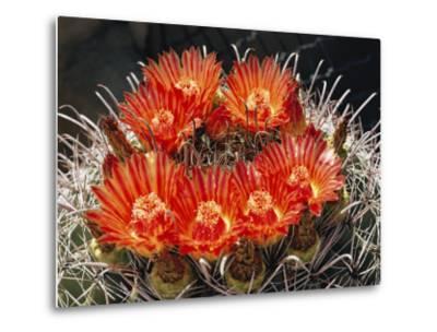 Barrel Cactus in Bloom-Walter Meayers Edwards-Metal Print