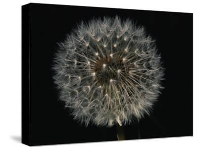 Close-up of a Dandelion That Has Gone to Seed-Brian Gordon Green-Stretched Canvas Print