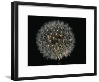 Close-up of a Dandelion That Has Gone to Seed-Brian Gordon Green-Framed Photographic Print