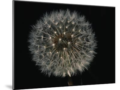 Close-up of a Dandelion That Has Gone to Seed-Brian Gordon Green-Mounted Photographic Print