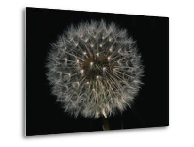 Close-up of a Dandelion That Has Gone to Seed-Brian Gordon Green-Metal Print