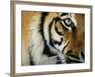 Close View of an Indian Tiger-Michael Nichols-Framed Photographic Print