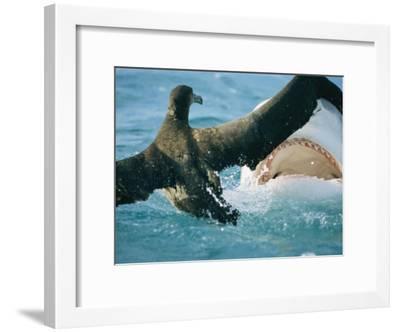 A Tiger Shark Feeds on a Young Albatross-Bill Curtsinger-Framed Photographic Print