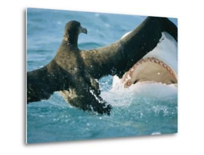 A Tiger Shark Feeds on a Young Albatross-Bill Curtsinger-Metal Print