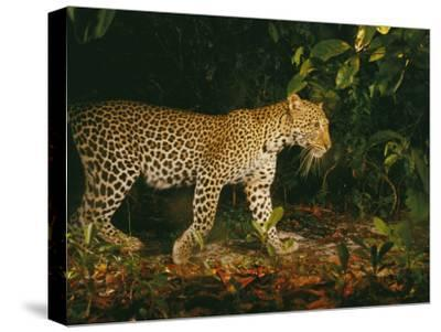 Picture of a Patrolling Leopard Taken by a Camera Trap-Michael Nichols-Stretched Canvas Print