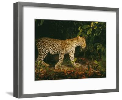 Picture of a Patrolling Leopard Taken by a Camera Trap-Michael Nichols-Framed Photographic Print