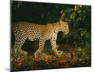 Picture of a Patrolling Leopard Taken by a Camera Trap-Michael Nichols-Mounted Photographic Print