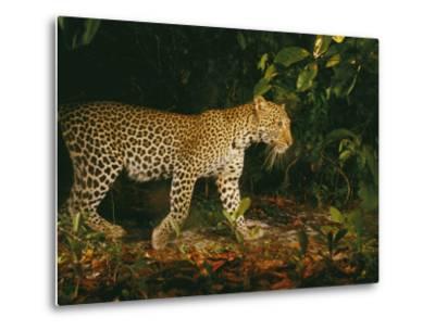 Picture of a Patrolling Leopard Taken by a Camera Trap-Michael Nichols-Metal Print