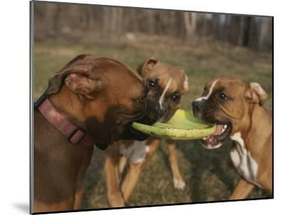 Three Boxer Dogs Play Tug-Of-War with a Frisbee-Roy Gumpel-Mounted Photographic Print
