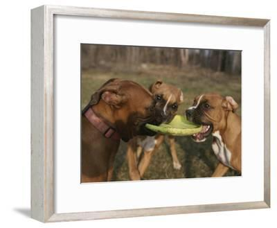 Three Boxer Dogs Play Tug-Of-War with a Frisbee-Roy Gumpel-Framed Photographic Print
