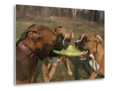 Three Boxer Dogs Play Tug-Of-War with a Frisbee-Roy Gumpel-Metal Print