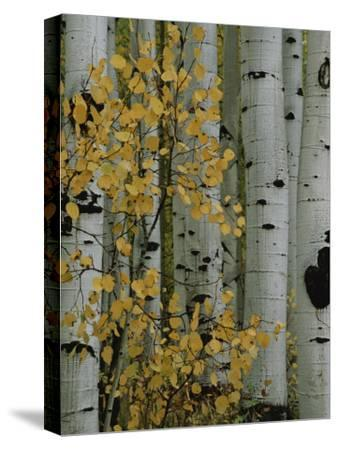 Autumn Foliage and Tree Trunks of Quaking Aspen Trees in the Crested Butte Area of Colorado-Marc Moritsch-Stretched Canvas Print